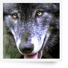 Parc à loups du Gévaudan - Lozère